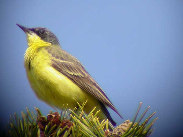 (Grey-headed) Yellow Wagtail