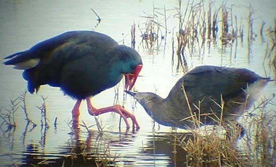 videos of purple swamp hen habitat