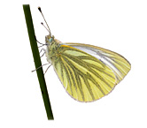 Ayrshire Bird Report 2004 (Green-veined White from rear cover)