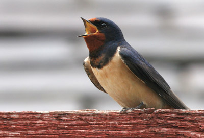 Singing Barn Swallow � 2005  F. S. Simpson