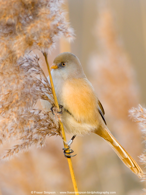 Bearded Tit in Hyde Park � Fraser Simpson