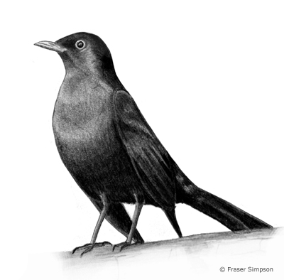 blackbirds drawing - photo #11