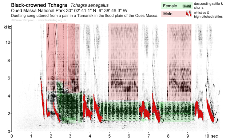 Sonogram of Black-crowned Tchagra duetting song
