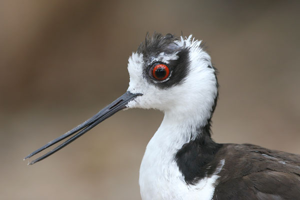 Black-necked Stilt ©2006 Fraser Simpson