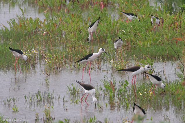 Black-winged Stilts © 2008 Fraser Simpson