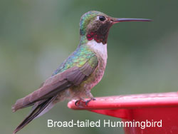 Broad-tailed Hummingbird © 2006  F. S. Simpson
