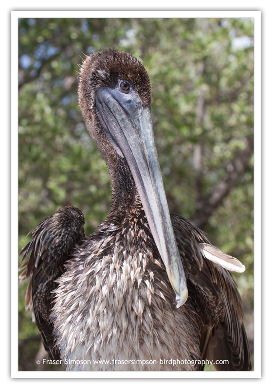 Brown Pelican  (Pelecanus occidentalis) � 2010 Fraser Simpson