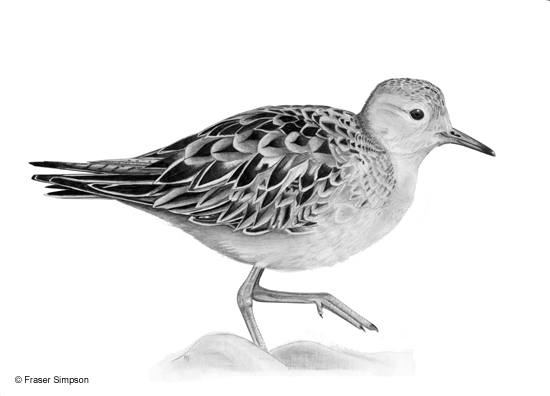 Buff-breasted Sandpiper drawing © Fraser Simpson