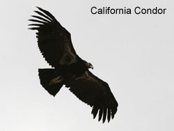 California Condor © 2006  F. S. Simpson
