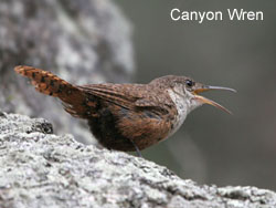 Canyon Wren © 2006  F. S. Simpson