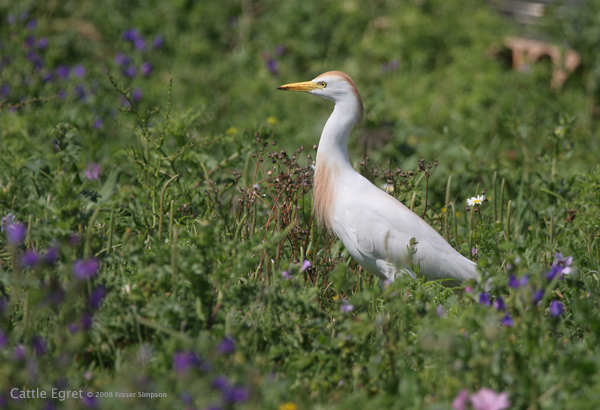 Cattle Egret © 2008 Fraser Simpson
