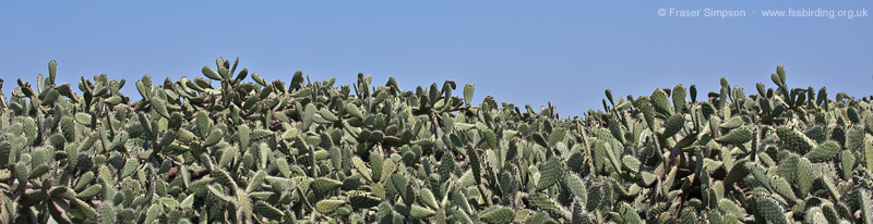 Prickly Pear (Opuntia sp.) © Fraser Simpson