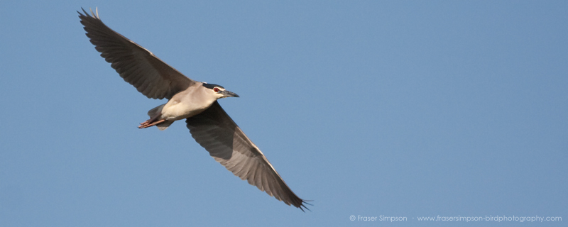 Black-crowned Night Heron (Nycticorax nycticorax) © Fraser Simpson