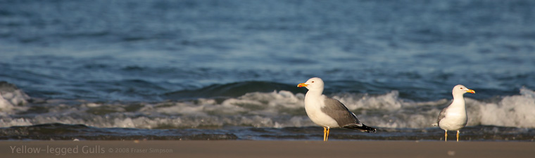 Yellow-legged Gulls © 2008 Fraser Simpson