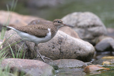 Common Sandpiper � 2005  F. S. Simpson