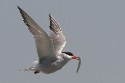 Common Tern, Porto Lagos � 2005  F. S. Simpson