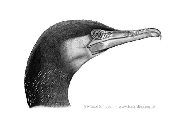 Great Cormorant drawing � Fraser Simpson