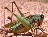 Bush Cricket sp