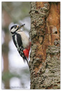 Great Spotted Woodpecker � Fraser Simpson