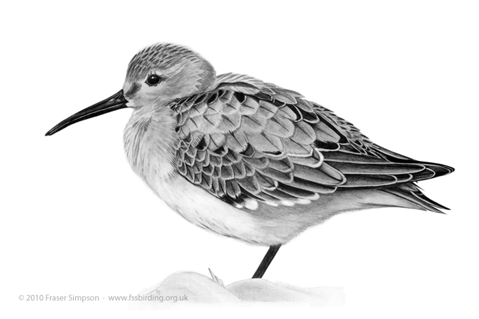 Dunlin drawing © Fraser Simpson