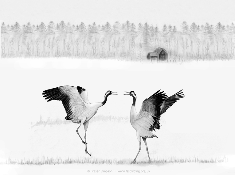 Drawing of Eurasian Cranes courtship dance in Sweden � Fraser Simpson