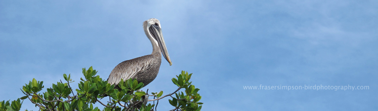 Brown Pelican (Pelecanus occidentalis) � Fraser Simpson