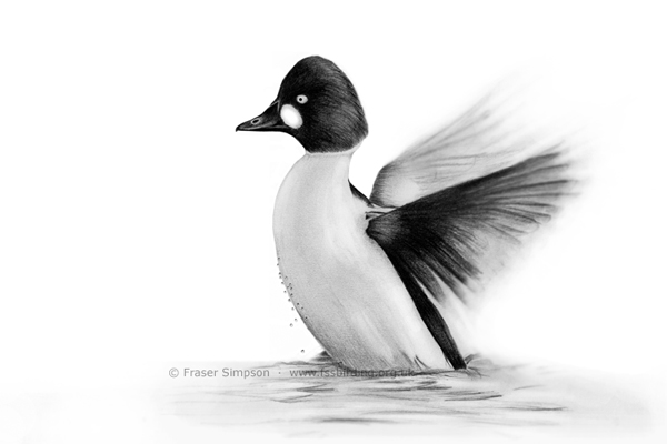 Goldeneye drawing � Fraser Simpson