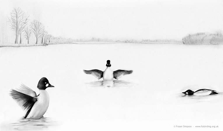 Drawing of Goldeneye at Hogganfield Loch, Glasgow, Clyde � Fraser Simpson