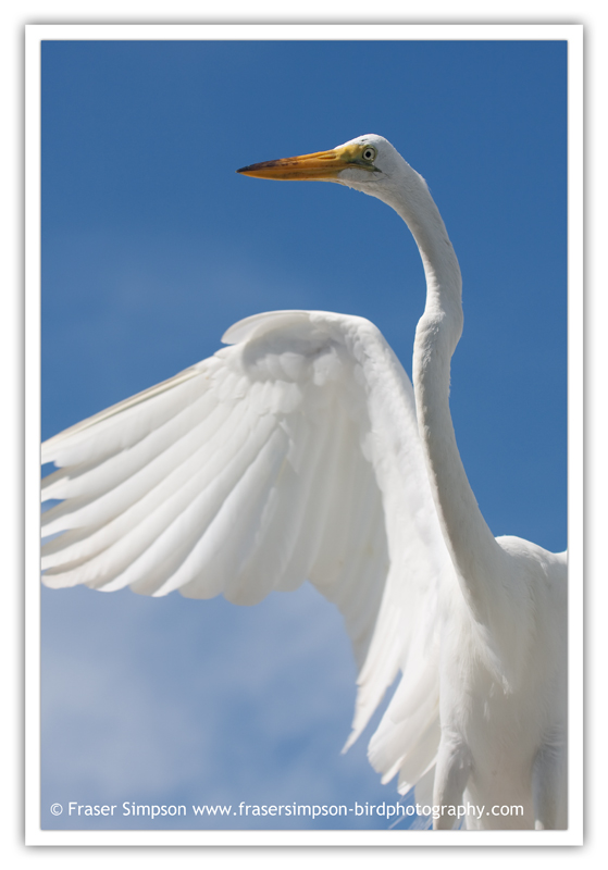 Great Egret  (Ardea alba) � 2010 Fraser Simpson