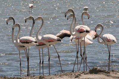 Greater Flamingo, Porto Lagos, � 2005  F. S. Simpson