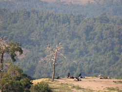 Vultures at feeding site in Dadia Forest