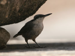 Western Rock Nuthatch (Sitta neumayer)