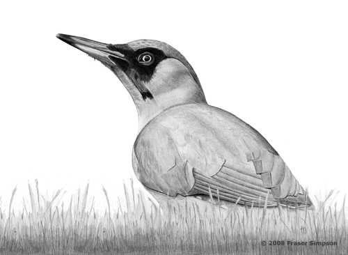 Green Woodpecker drawing © Fraser Simpson
