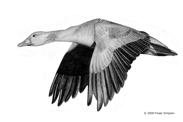 Greylag Goose drawing © Fraser Simpson