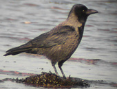 Hybrid Hooded/Carrion Crow