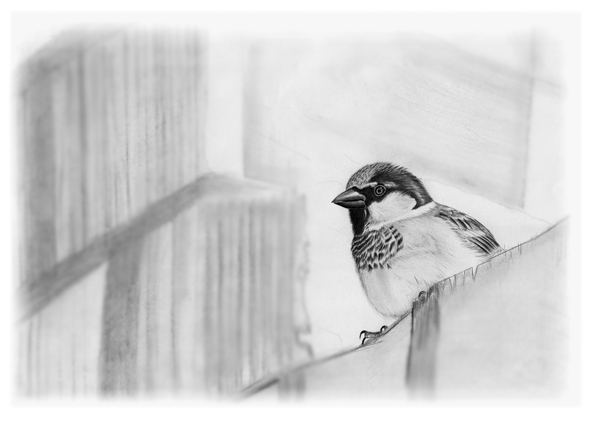 House Sparrow drawing � Fraser Simpson