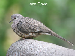Inca Dove © 2006  F. S. Simpson