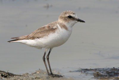 Kentish Plover (female), Epanomi � 2005  F. S. Simpson