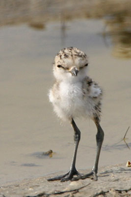 Kentish Plover (chick), Epanomi � 2005  F. S. Simpson