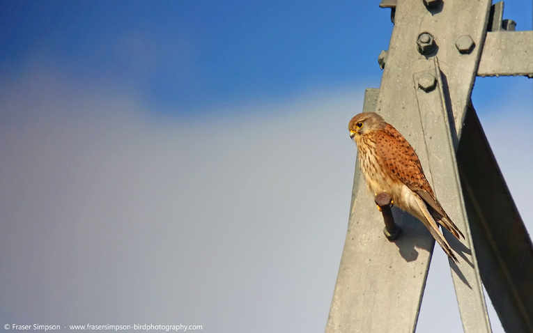 Common Kestrel (Falco tinnunculus) � Fraser Simpson 2016