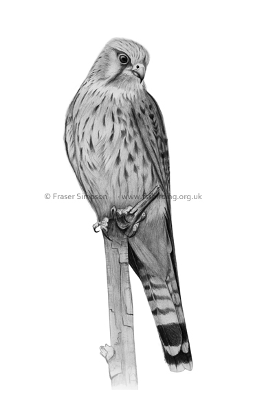 Kestrel drawing � Fraser Simpson