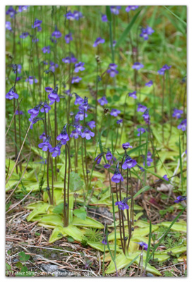 Common Butterwort (Pinguicula vulgaris) © Fraser Simpson