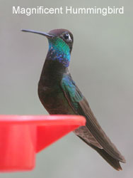 Magnificent Hummingbird © 2006  F. S. Simpson