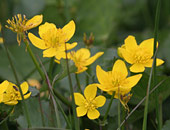 Marsh Marigold (Kingcup)