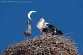 White Storks nesting on minaret