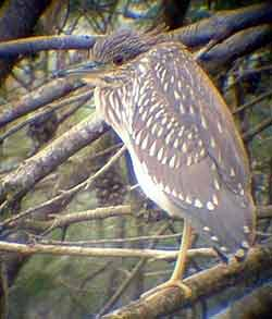 Night Heron (1st-W)