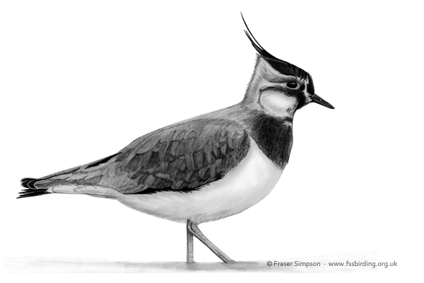 Northern Lapwing drawing © Fraser Simpson