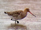 Phonescoped Black-tailed Godwit
