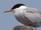 Phonescoped Common Tern