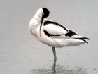 Phonescoped Avocet